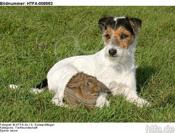 Parson Russell Terrier und Widderkaninchen / prt and lop-eared bunny / HTFA-008553