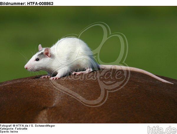 Farbratte sitzt auf Pferd / rat sits on horse / HTFA-008863