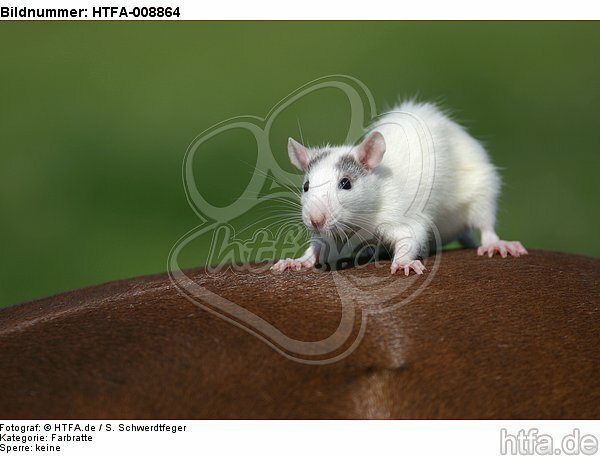 Farbratte sitzt auf Pferd / rat sits on horse / HTFA-008864