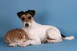 Parson Russell Terrier und Zwergkaninchen / parson russell terrier and bunny