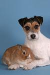Parson Russell Terrier und Zwergkaninchen / prt and bunny