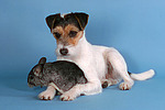 Parson Russell Terrier und Chinchilla / prt and chinchilla