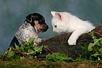 Jack Russell Terrier Welpe und K�tzchen / jack russell terrier puppy and kitten