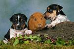 Jack Russell Terrier Welpen und Meerschwein / jack russell terrier puppies and guninea pig