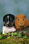 Jack Russell Terrier Welpe und Meerschwein / jack russell terrier puppy and guninea pig