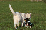 Jack Russell Terrier Welpe und Katze / jack russell terrier puppy and cat