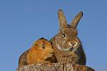 Meerschwein und Kaninchen / guninea pig and rabbit