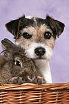 Parson Russell Terrier und Zwergkaninchen / dog and dwarf rabbit