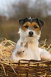 Parson Russell Terrier und Angorakaninchen / prt and bunny