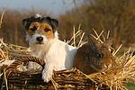 Parson Russell Terrier und Widderkaninchen / prt and bunny
