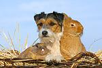 Parson Russell Terrier und Zwergkaninchen / prt and dwarf rabbits