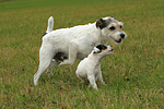 spielende Parson Russell Terrier / playing PRT