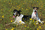 Border Collie und Parson Russell Terrier / border collie and parson russell terrier
