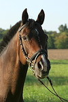 Warmblut Portrait / warmblood portrait
