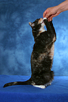 Hauskatze macht M�nnchen / domestic cat
