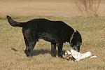 Mischling und Rarson Russell Terrier / mongrel and Rarson Russell Terrier