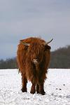 Schottisches Hochlandrind im Winter / highland cattle in winter