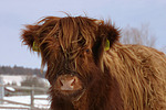 Schottisches Hochlandrind im Winter / highland cattle in winter