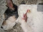 Parson Russell Terrier mit Verletzung / injured PRT