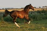 galoppierender Holsteiner / galloping Holsteiner