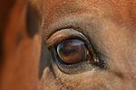 Sachsen Anhaltiner Warmblut Auge / horse eye