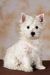 sitzender West Highland White Terrier Welpe / sitting West Highland White Terrier Puppy