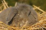 Widderkaninchen / lop-eared bunny