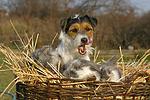 Parson Russell Terrier und Widderkaninchen / prt and lop-eared bunnies