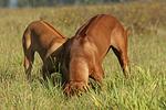 schnuppernde Rhodesian Ridgebacks / snuffing Rhodesian Ridgebacks