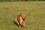 rennender Rhodesian Ridgeback / running Rhodesian Ridgeback