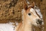 Haflinger Fohlen / haflinger horse foal