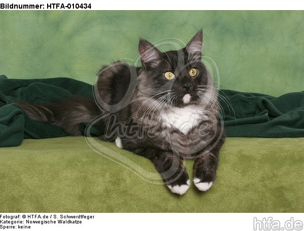 liegende Norwegische Waldkatze / lying Norwegian Forestcat / HTFA-010434