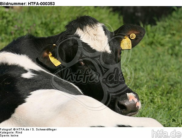 Rind Portrait / cattle portrait / HTFA-000353
