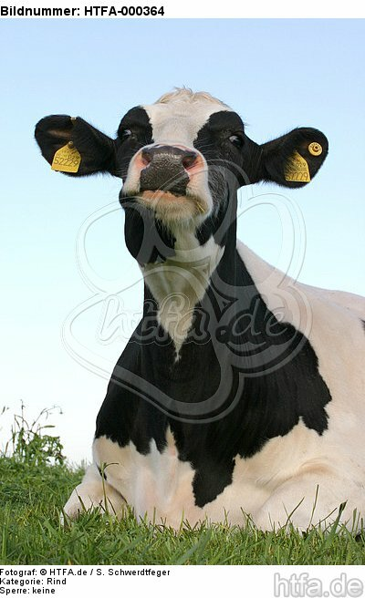 liegendes Rind / lying cattle / HTFA-000364