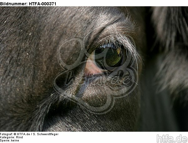 Rind Auge / cattle eye / HTFA-000371