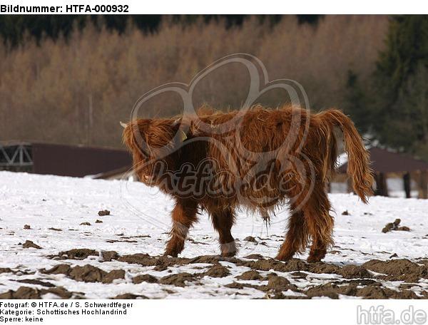 Schottisches Hochlandrind im Winter / highland cattle in winter / HTFA-000932