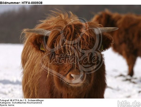 Schottisches Hochlandrind im Winter / highland cattle in winter / HTFA-000938