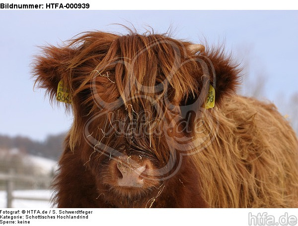 Schottisches Hochlandrind im Winter / highland cattle in winter / HTFA-000939