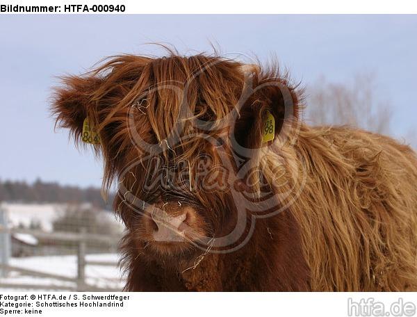 Schottisches Hochlandrind im Winter / highland cattle in winter / HTFA-000940