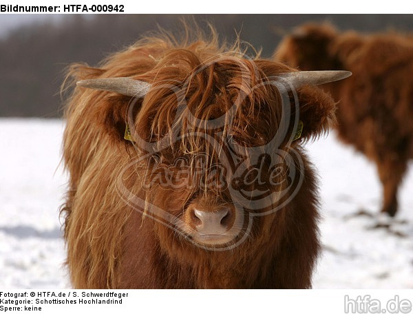 Schottisches Hochlandrind im Winter / highland cattle in winter / HTFA-000942