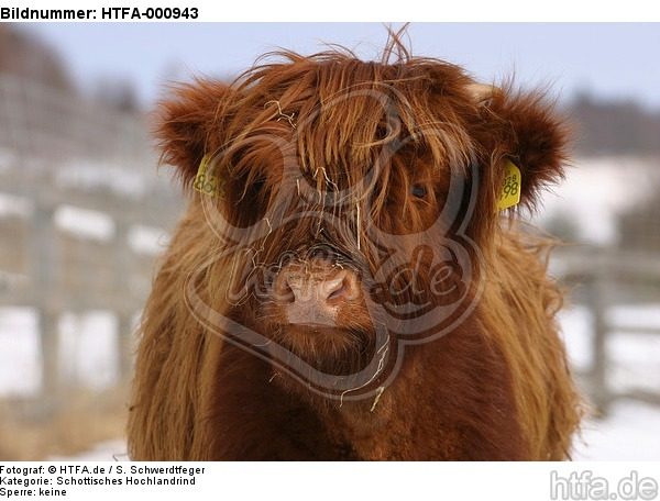 Schottisches Hochlandrind im Winter / highland cattle in winter / HTFA-000943