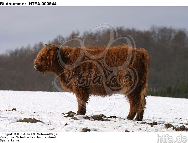 Schottisches Hochlandrind im Winter / highland cattle in winter / HTFA-000944