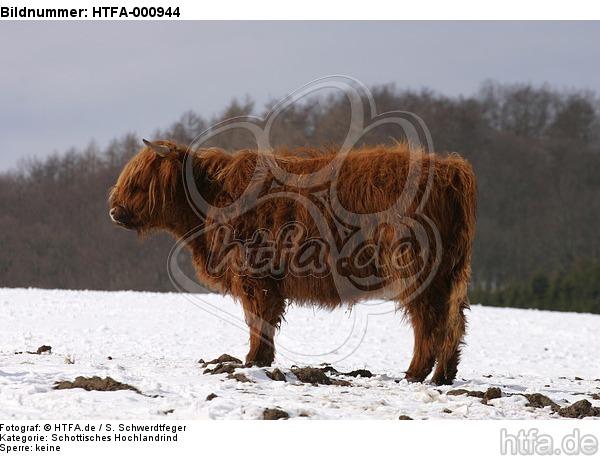 Schottisches Hochlandrind im Winter / highland cattle in winter / HTFA-000944