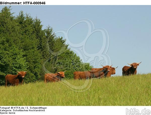 Schottische Hochlandrinder / highland cattles / HTFA-000946