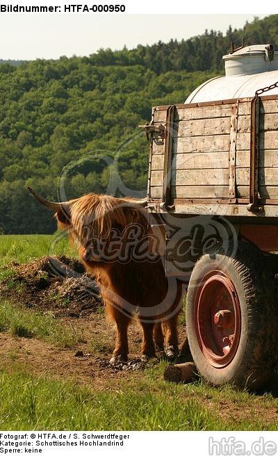 Schottisches Hochlandrind / highland cattle / HTFA-000950
