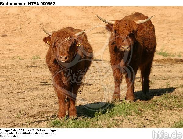 Schottische Hochlandrinder / highland cattles / HTFA-000952