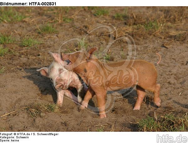Ferkel / piglets / HTFA-002831