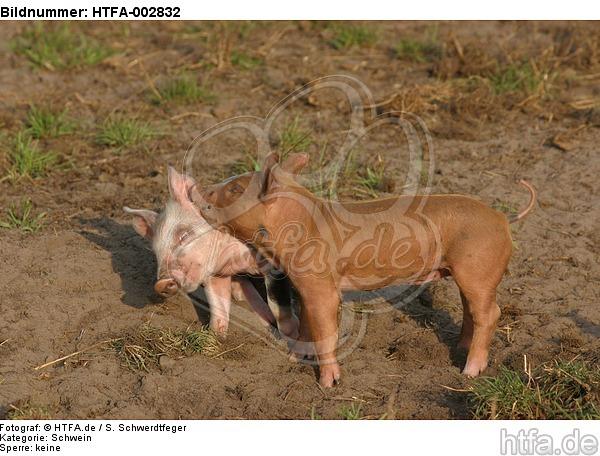 Ferkel / piglets / HTFA-002832