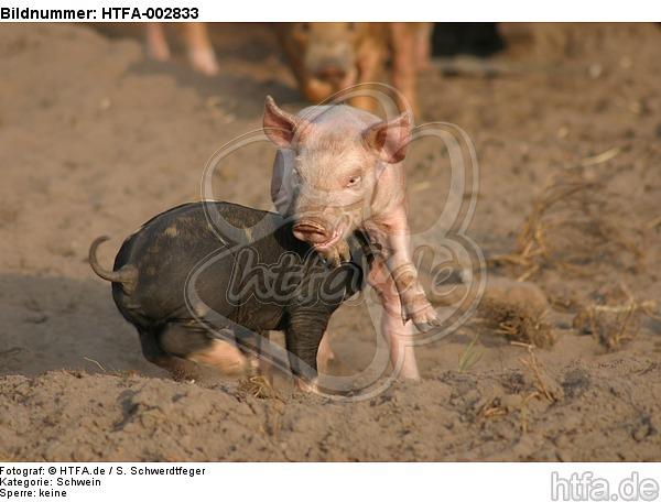 Ferkel / piglets / HTFA-002833