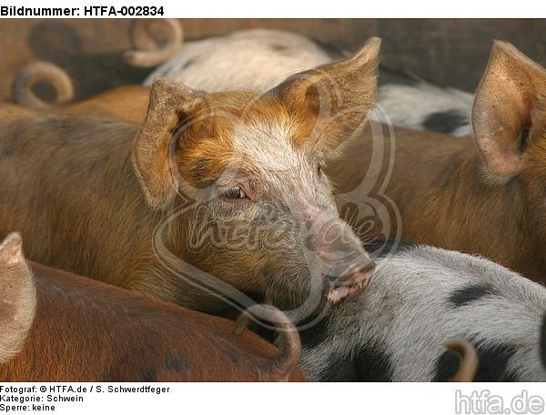 Ferkel / piglet / HTFA-002834